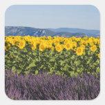 Campo de girasoles y de flores de la lavanda, pegatina cuadrada