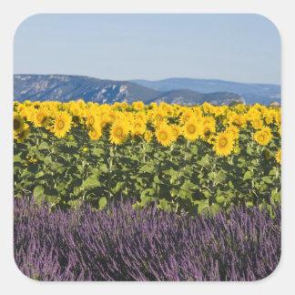 Campo de girasoles y de flores de la lavanda, pegatina cuadradas personalizada
