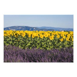 Campo de girasoles y de flores de la lavanda arte fotográfico