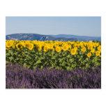 Campo de girasoles y de flores de la lavanda, tarjeta postal