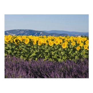 Campo de girasoles y de flores de la lavanda, postal