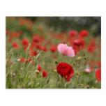 Campo de la primavera con las amapolas rojas postal