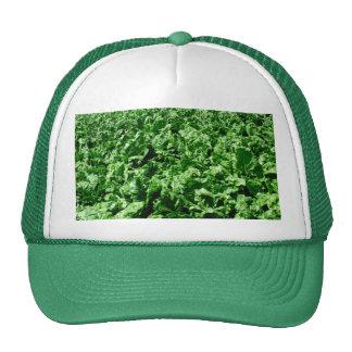 Campo de la remolacha gorra