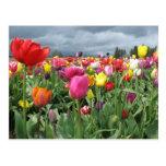 Campo de los tulipanes postales