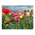 Campo de los tulipanes tarjeta postal