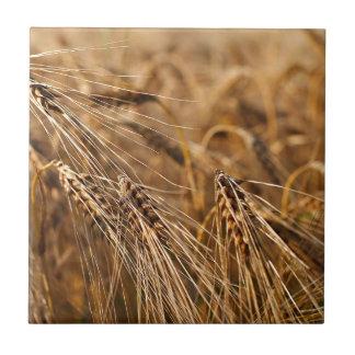 Campo de maíz con el grano