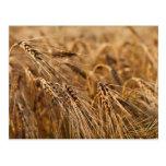 Campo de maíz con el grano postal