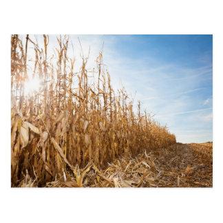 Campo de maíz en parte cosechado tarjeta postal