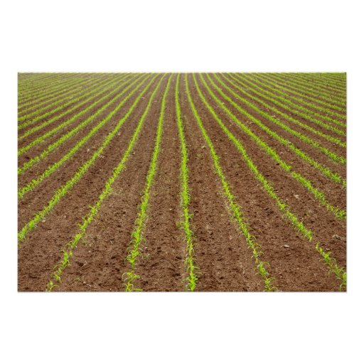 Campo de maíz poster