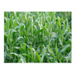 Campo de maíz verde - postal