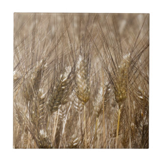 Campo de oídos del trigo azulejo cuadrado pequeño