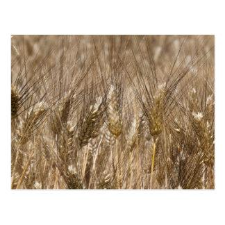Campo de oídos del trigo postal