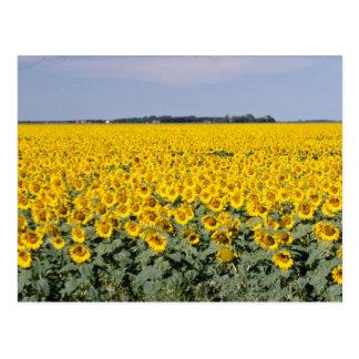 campo de oro amarillo de girasoles, flor de Manito Postales