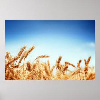 Campo de trigo contra el cielo azul poster