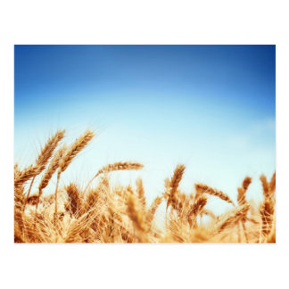 Campo de trigo contra el cielo azul postal