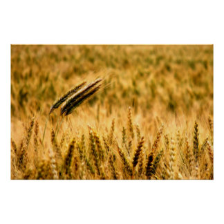 Campo de trigo poster