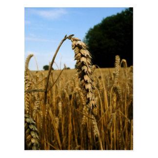 Campo de trigo postal