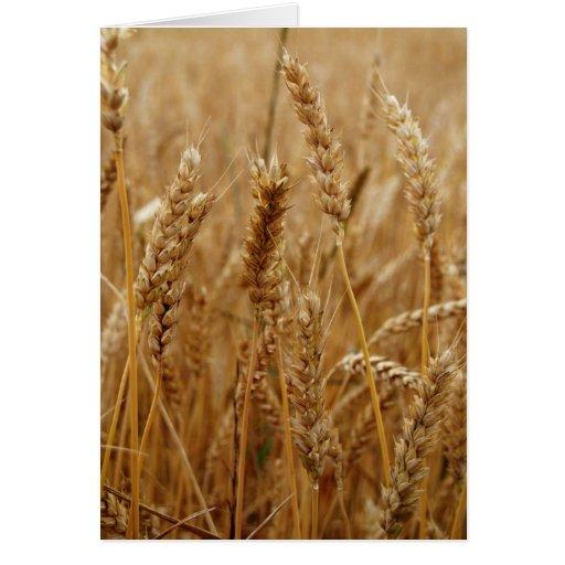 Campo de trigo tarjeta