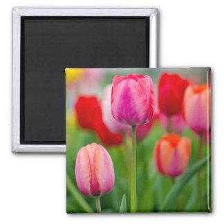 Campo de tulipanes imán cuadrado