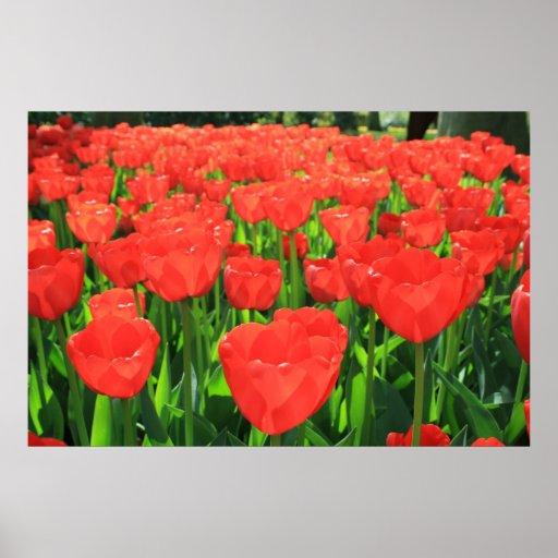 Campo de tulipanes póster