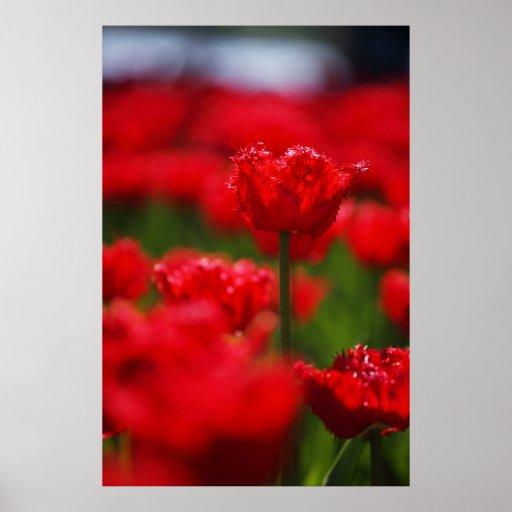 Campo de tulipanes rojos poster