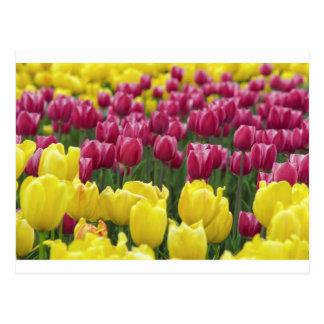Campo de tulipanes tarjetas postales