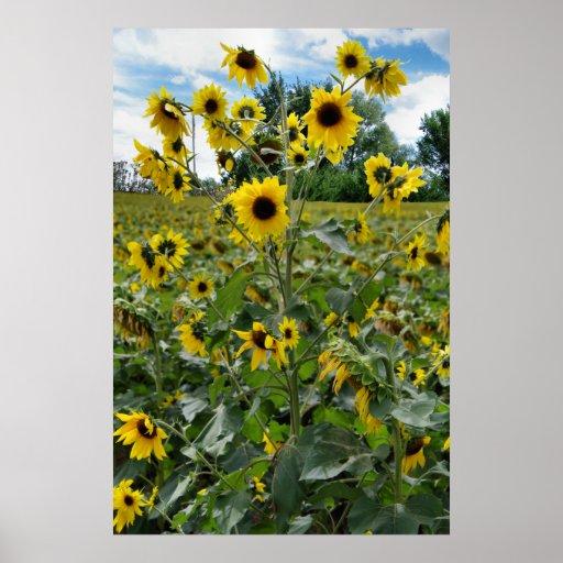 Campo de Wildflowers Impresiones
