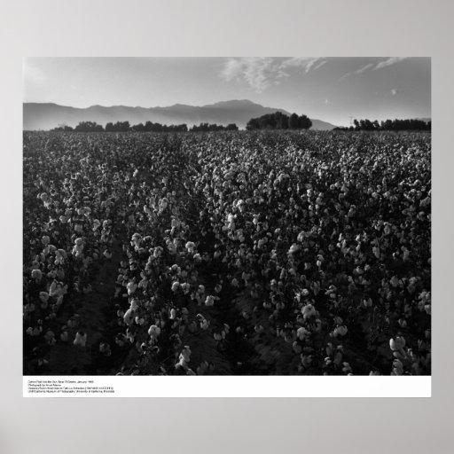 Campo del algodón, en el sol cerca del EL Centro,  Poster