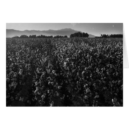 Campo del algodón, en el sol cerca del EL Centro,  Tarjetón