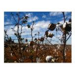 campo del algodón postal