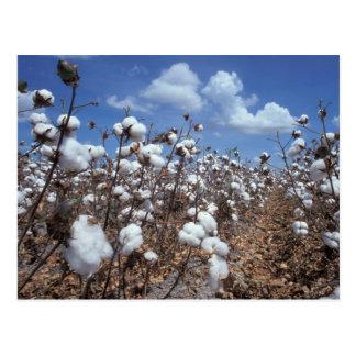 Campo del algodón tarjeta postal