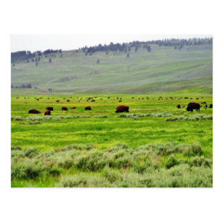 Campo del búfalo tarjetas postales