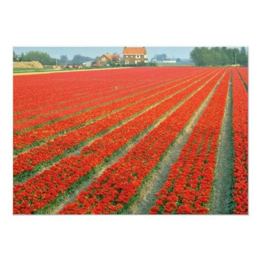 Campo del bulbo cerca de Haarlem, flores Anuncios