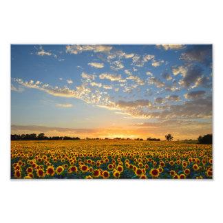 Campo del girasol en la puesta del sol, 12x8 cojinete