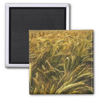 Campo del grano imanes