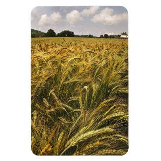 Campo del grano imanes de vinilo