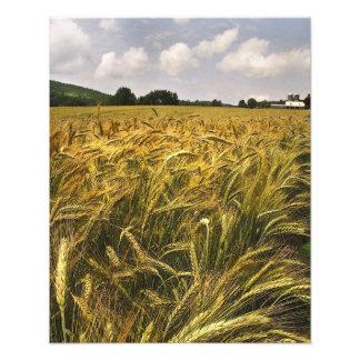 Campo del grano fotografia