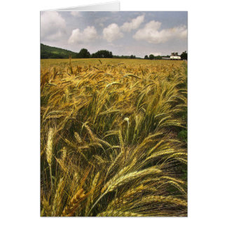 Campo del grano tarjeta de felicitación