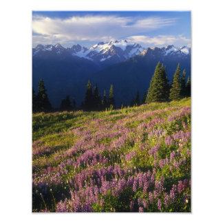 Campo del lupine, del monte Olimpo, y de nubes en Fotografía