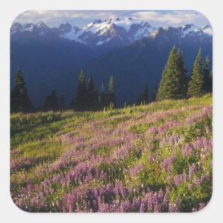 Campo del lupine, del monte Olimpo, y de nubes en Calcomanía Cuadrada