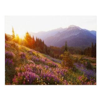 Campo del lupine y de las montañas olímpicas en postal