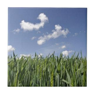 Campo del maíz joven tejas  cerámicas