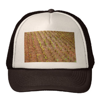 Campo del taro gorras