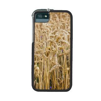 Campo del trigo, granos de oro