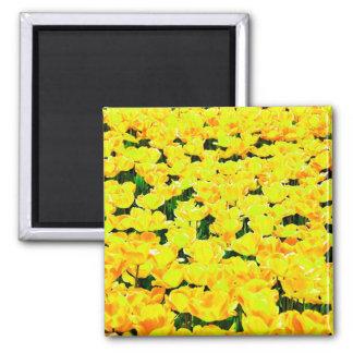 Campo del tulipán - amarillo de oro imán cuadrado