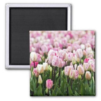 campo del tulipán imán cuadrado