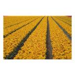 Campo del tulipán, los Países Bajos Foto