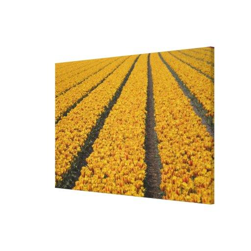Campo del tulipán, los Países Bajos Impresion De Lienzo