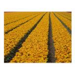 Campo del tulipán, los Países Bajos Postal