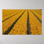 Campo del tulipán, los Países Bajos Posters